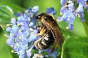 Bee 7918 - Lasioglossum - female