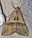 Melipotis cellaris
