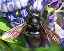 Valley Carpenter Bee - Xylocopa varipuncta - female