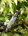 Beetle - Dichelotarsus