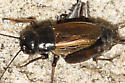 Cricket at the beach - Gryllus pennsylvanicus - female