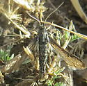 Clearwing moth with scaled wings II? - Zenodoxus canescens