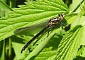 Rapids Clubtail - Ontario - Phanogomphus quadricolor - female