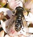 Syrphid Fly - Lejops polygrammus