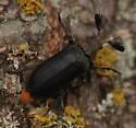 Cedar Beetle (Sandalus niger) - Sandalus niger - male