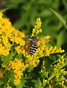 Bee or wasp? - Triepeolus - female