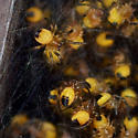 Cross Orbweaver spiderlings - Araneus diadematus