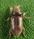 Variegated Mud-loving Beetle - Heterocerus