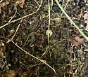 Millipedes Multiple Hayrock - Oxidus gracilis