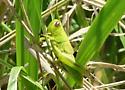 unknown grasshopper  - Melanoplus bivittatus - female