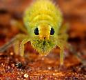 Collembola - Bourletiella viridescens - female
