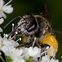 Bee 1369 - Andrena crataegi - female