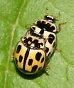 Mating Fourteen-spotted Lady Beetles - Propylea quatuordecimpunctata - male - female