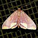 Stained Lophosis - Hodges #7181 - Lophosis labeculata - male