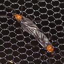 Love Bugs - Plecia nearctica - male - female