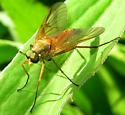 Marsh Snipe Fly - Rhagio tringarius - male