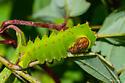 Polyphemus Moth Caterpillar (Antheraea polyphemus) Hodges # 7757 - Antheraea polyphemus