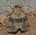 Mid April Moth - Properigea continens