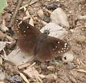 Sootywing? - Pholisora catullus