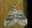 Same moth as before? - Operophtera danbyi