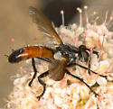 Perhaps Cylindromyia? - Cylindromyia intermedia - male