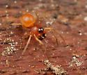 Spider ID - Ceraticelus - male