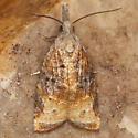 Moth - Platynota stultana