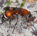 wasp - Psorthaspis legata - female