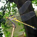 Dragonhunter - Hagenius brevistylus - female