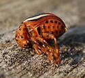 beetle - Leptinotarsa juncta