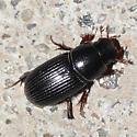 Scrab beetle - Ataenius spretulus