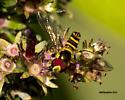 7mm wasp - Allograpta obliqua