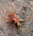 Red Spider - Dysdera crocata