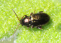 Small metallic beetle on Yerba Santa - Hemiglyptus basalis