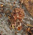 C. thalia? - Castianeira athena - female
