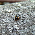 Black and red beetle - Tritoma humeralis