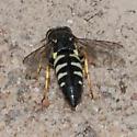 Sand Wasp? - Bicyrtes quadrifasciatus
