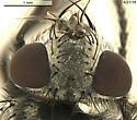Sarcophagidae 4