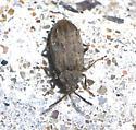 Tiny Beetle - Monoxia