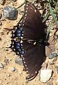 Black Swallowtail-Sanilac - Papilio polyxenes
