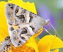 Moth -? - Bulia deducta