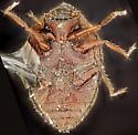 Beetle, ventral - Limnichoderus naviculatus