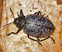 beetle - Cypherotylus californicus