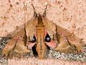 Blinded Sphinx - Paonias excaecata