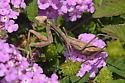 Praying Mantis - Stagmomantis limbata - female