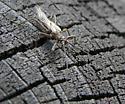 Stonefly? - Oemopteryx glacialis - male