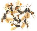 Roproniidae, individual variations  - Ropronia garmani