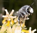 Semi-Large Desert Bee - Anthophora