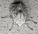 Beautiful white & grey-spotted tiger moth - Arachnis picta