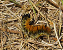 Spokane River Caterpillar - Acronicta dactylina